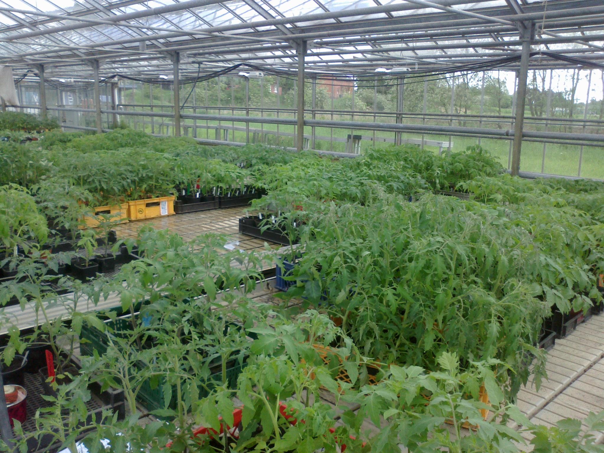 Gewächshaus der Tomatenretter in Hamburg - schreberrebellen.de